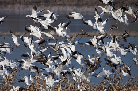 snow geese over a rice field